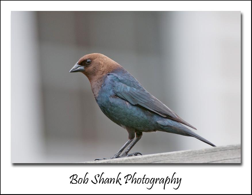 backyard birds 2012 05 04 001 matte